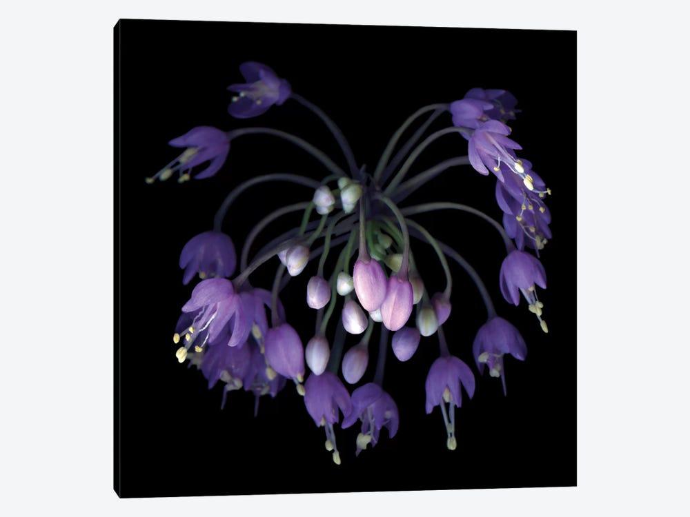 Allium Fireworks Canvas Art Print By Magda Indigo Icanvas