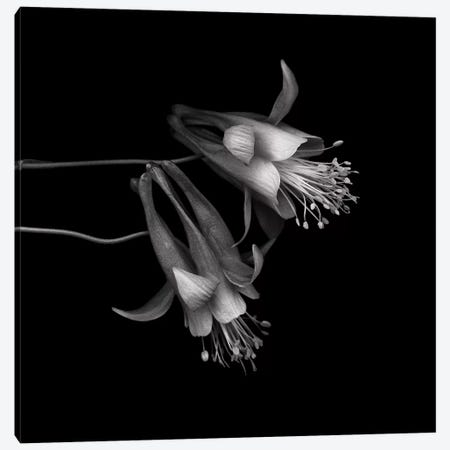 Aquilegia II, B&W 3-Piece Canvas #MAG112} by Magda Indigo Canvas Art