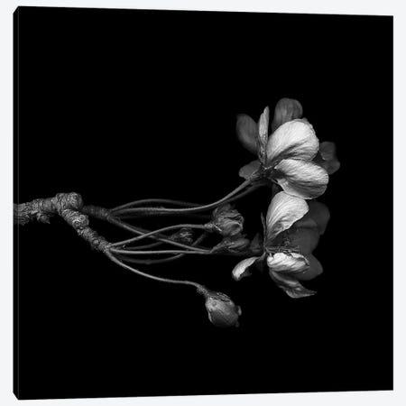 Blossom, B&W Canvas Print #MAG114} by Magda Indigo Canvas Print