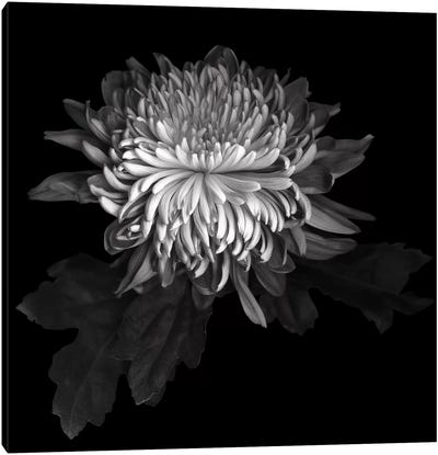 Chrysanthemum I, B&W Canvas Art Print
