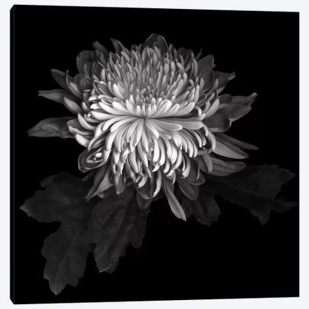 Chrysanthemum I, B&W 3-Piece Canvas #MAG117} by Magda Indigo Art Print