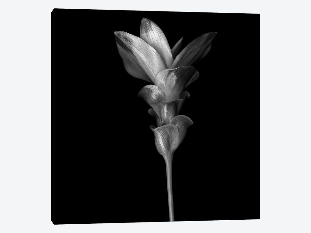 Curcuma III, B&W by Magda Indigo 1-piece Canvas Wall Art