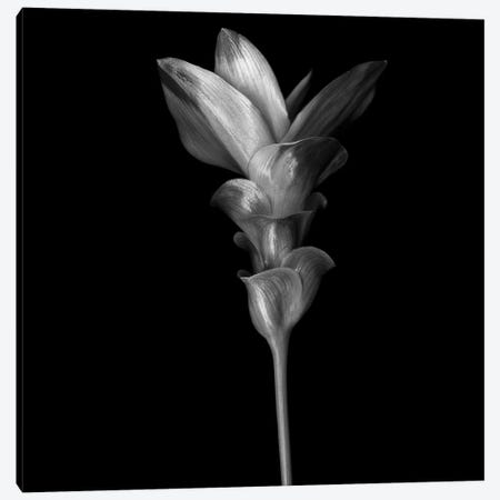 Curcuma III, B&W 3-Piece Canvas #MAG118} by Magda Indigo Canvas Art
