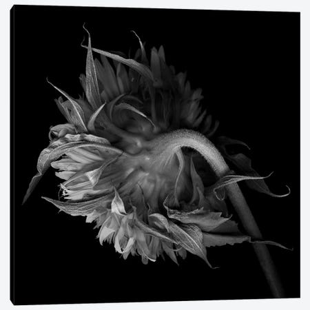 Double Tournesol VI, B&W Canvas Print #MAG121} by Magda Indigo Canvas Print