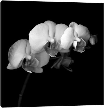 Easter Orchid V, B&W Canvas Art Print