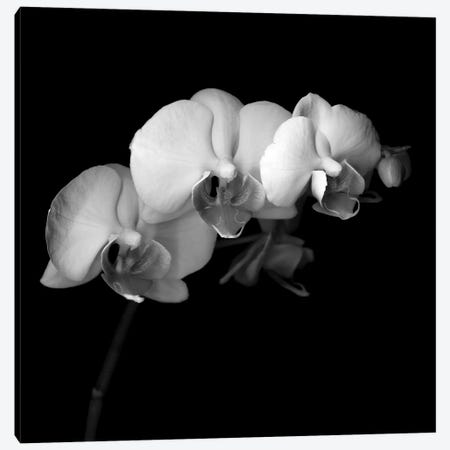 Easter Orchid V, B&W 3-Piece Canvas #MAG126} by Magda Indigo Canvas Wall Art