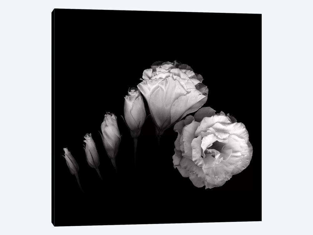 Evolution Lysianthus III, B&W by Magda Indigo 1-piece Canvas Artwork