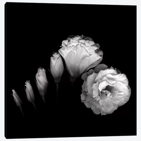 Evolution Lysianthus III, B&W 3-Piece Canvas #MAG127} by Magda Indigo Canvas Art
