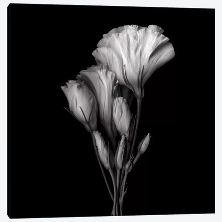 Evolution Lysianthus VIII, B&W Canvas Print #MAG128} by Magda Indigo Canvas Print