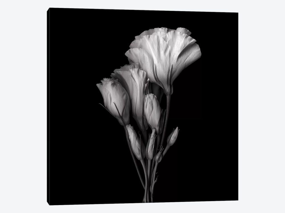 Evolution Lysianthus VIII, B&W by Magda Indigo 1-piece Art Print