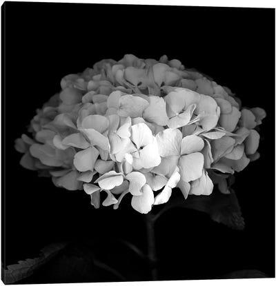 Hydrangea VI, B&W Canvas Art Print