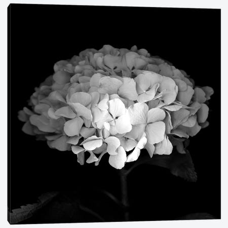 Hydrangea VI, B&W Canvas Print #MAG132} by Magda Indigo Canvas Art