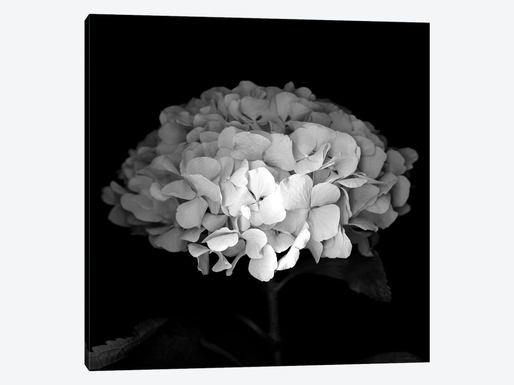 Hydrangea VI, B&W by Magda Indigo 1-piece Canvas Art