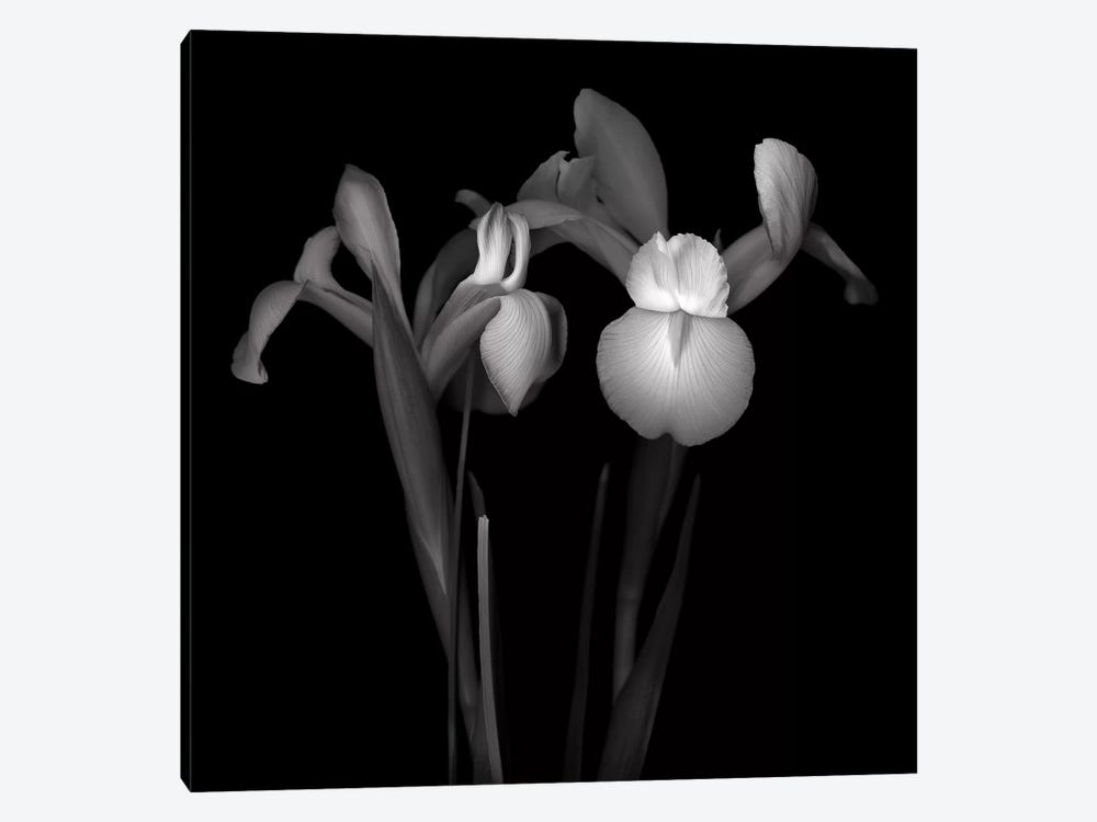 Iris IV, B&W 1-piece Canvas Art Print