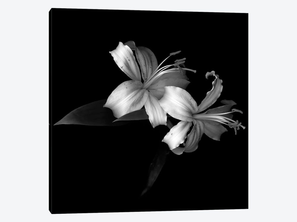 Lily V, B&W by Magda Indigo 1-piece Canvas Artwork
