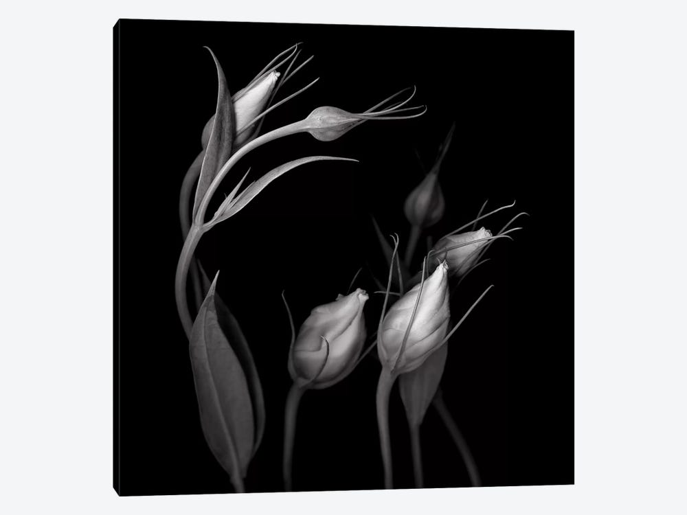 Lisianthus IV, B&W by Magda Indigo 1-piece Canvas Art Print