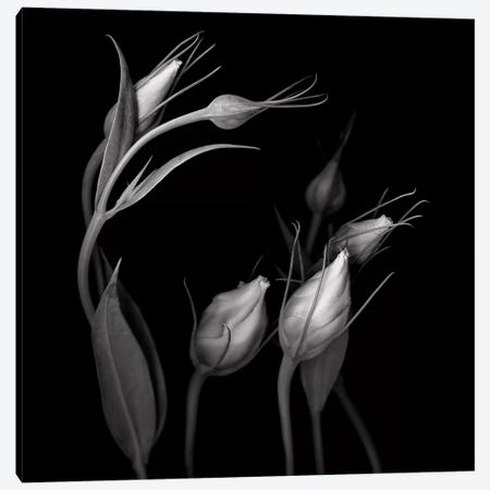 Lisianthus IV, B&W 3-Piece Canvas #MAG139} by Magda Indigo Canvas Artwork
