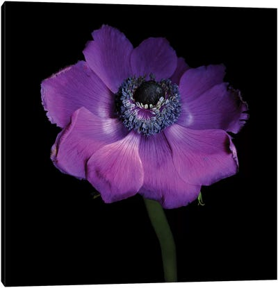 Anemone Con Brio Canvas Art Print