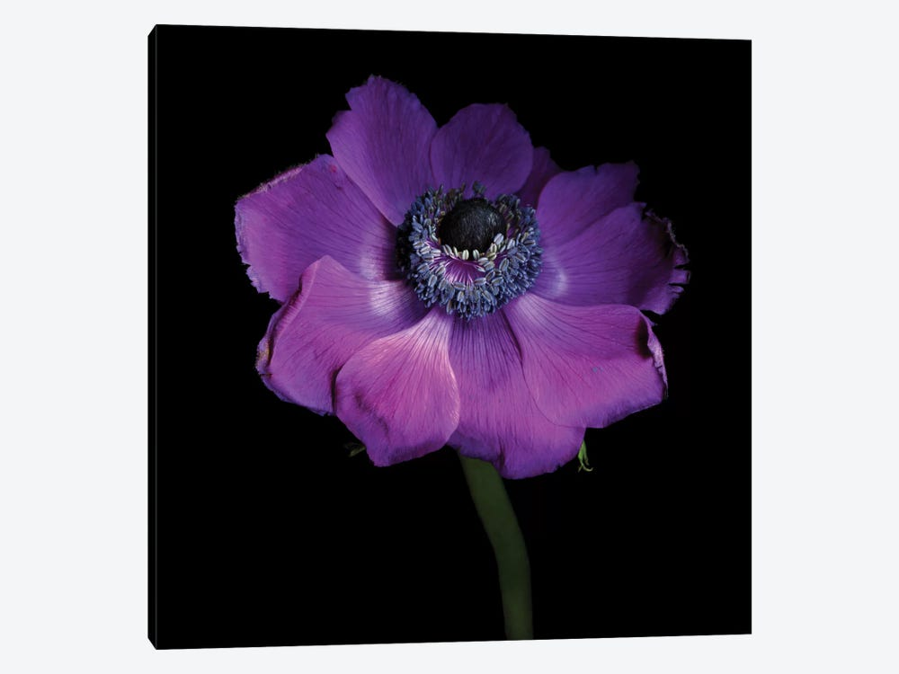 Anemone Con Brio by Magda Indigo 1-piece Canvas Art