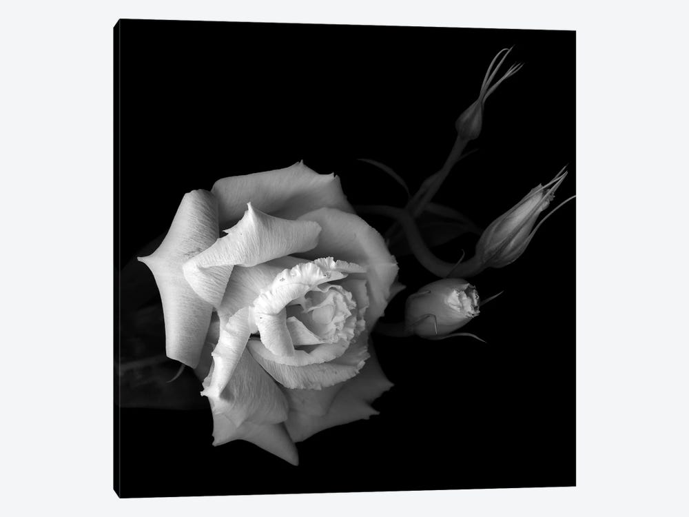 Lisianthus, B&W by Magda Indigo 1-piece Canvas Print