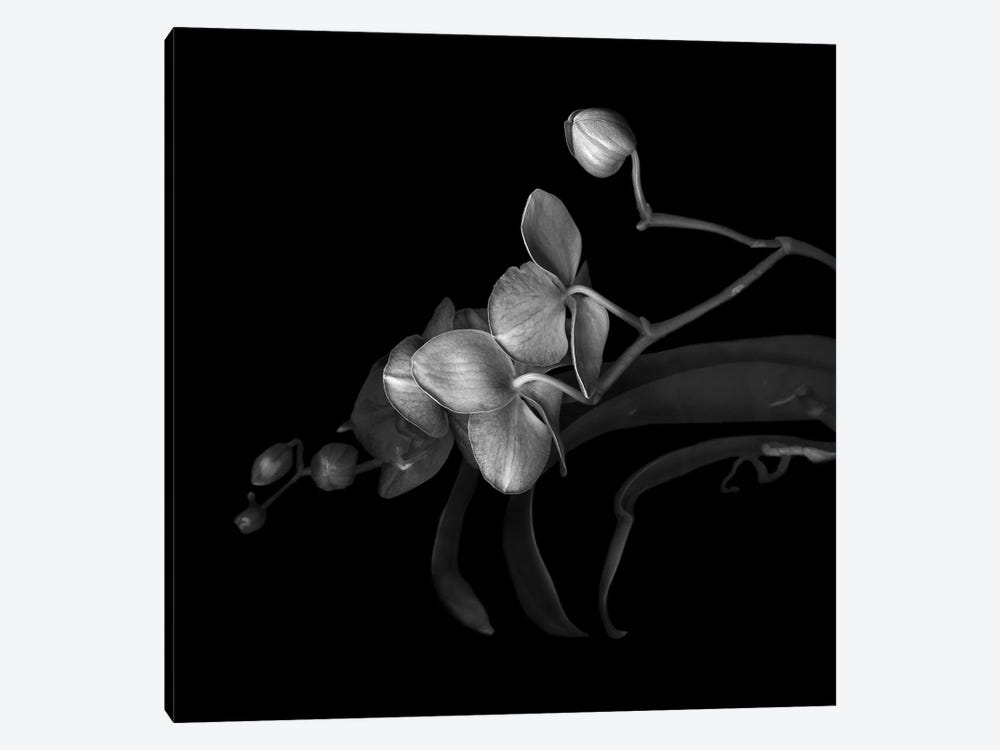 Orchid Purple, B&W by Magda Indigo 1-piece Canvas Print