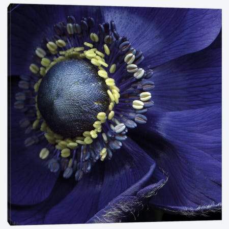 Anemonissimo! Canvas Print #MAG14} by Magda Indigo Canvas Art