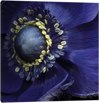 Anemonissimo! Canvas Art Print