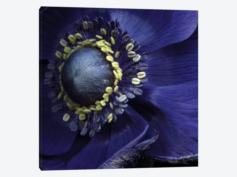 Anemonissimo! by Magda Indigo 1-piece Canvas Print