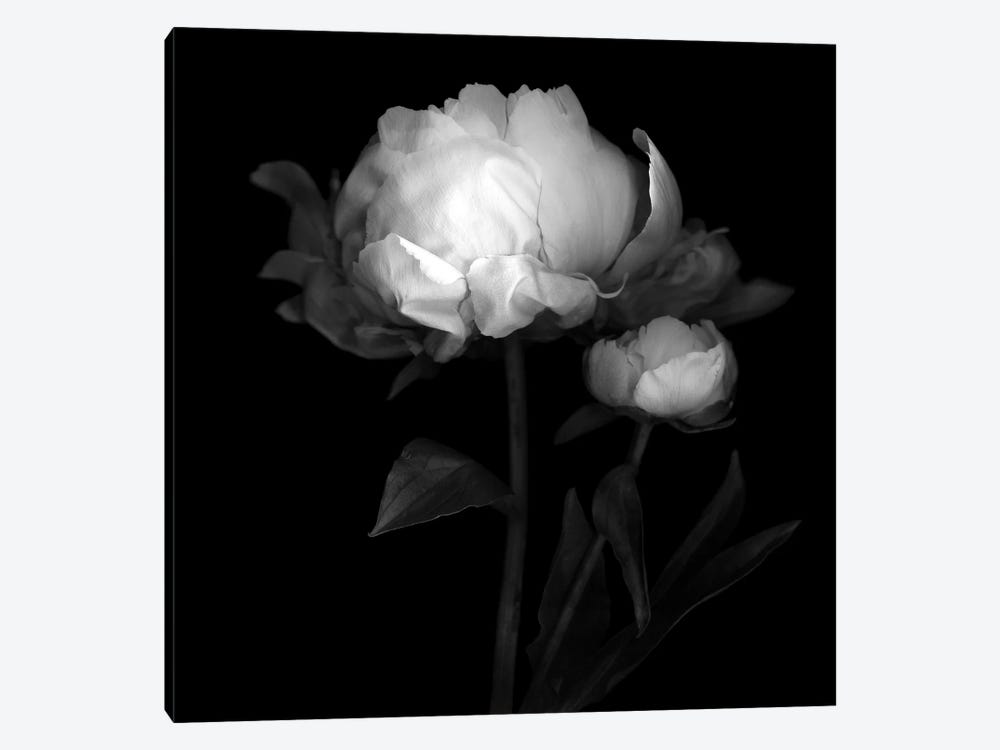 Peonies III, B&W by Magda Indigo 1-piece Canvas Art
