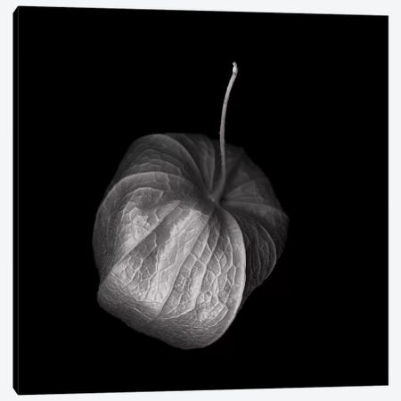 Physalis VI, B&W Canvas Print #MAG155} by Magda Indigo Canvas Print