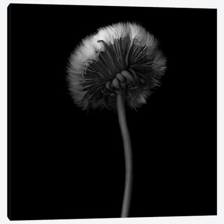 Pisenlit I, B&W Canvas Print #MAG158} by Magda Indigo Canvas Art