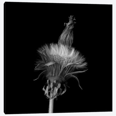 Pisenlit II, B&W Canvas Print #MAG159} by Magda Indigo Canvas Art