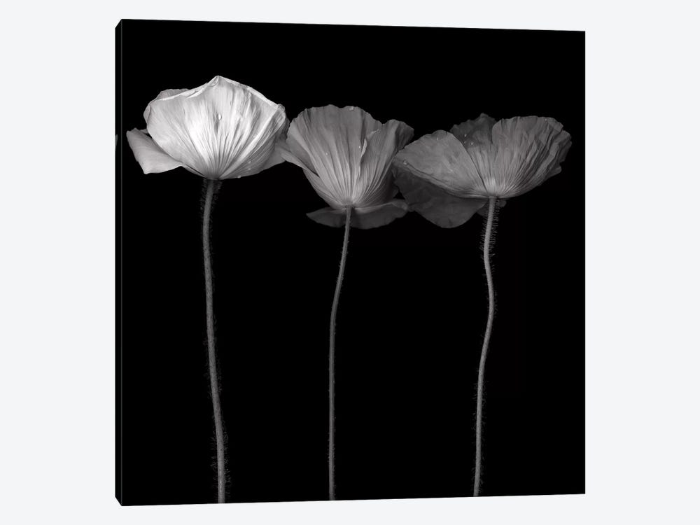 Poppy VI, B&W by Magda Indigo 1-piece Canvas Print