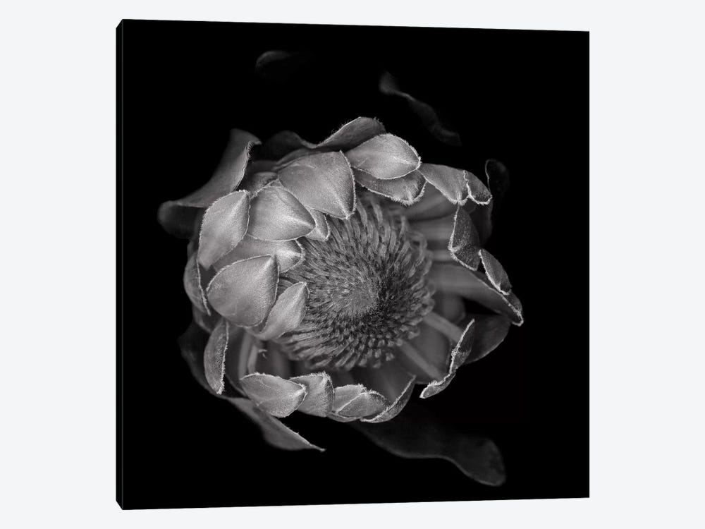 Protea II, B&W by Magda Indigo 1-piece Canvas Print