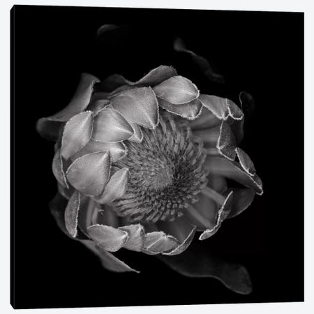 Protea II, B&W 3-Piece Canvas #MAG162} by Magda Indigo Canvas Print