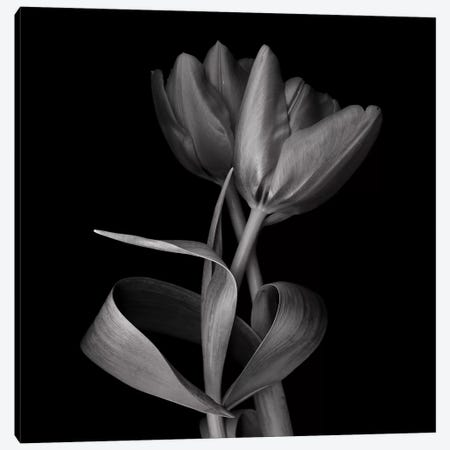 Red Tulips XI, B&W 3-Piece Canvas #MAG164} by Magda Indigo Canvas Wall Art