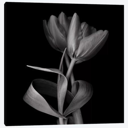 Red Tulips XI, B&W Canvas Print #MAG164} by Magda Indigo Canvas Wall Art