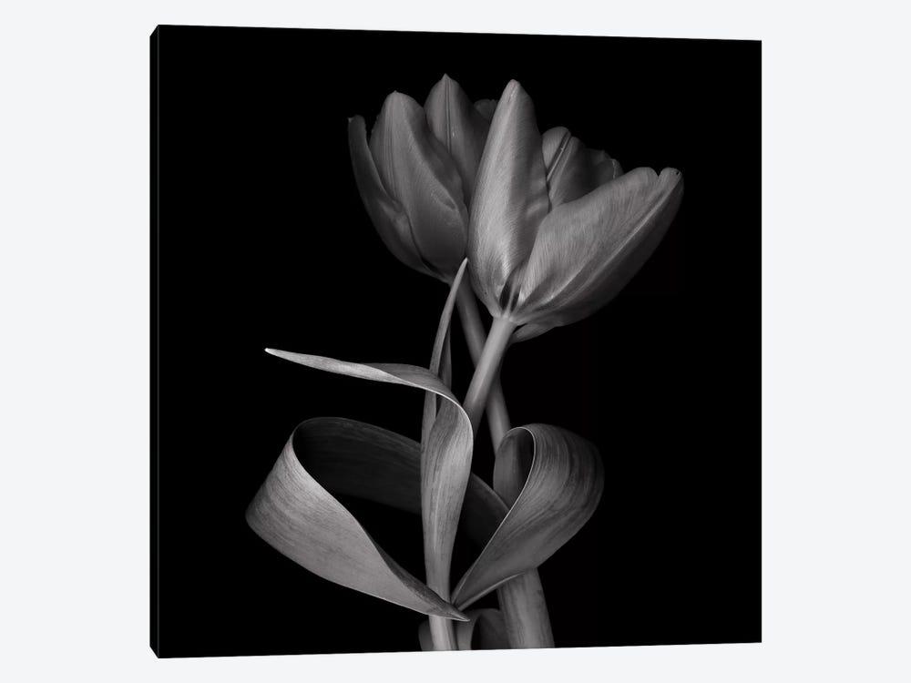 Red Tulips XI, B&W by Magda Indigo 1-piece Art Print
