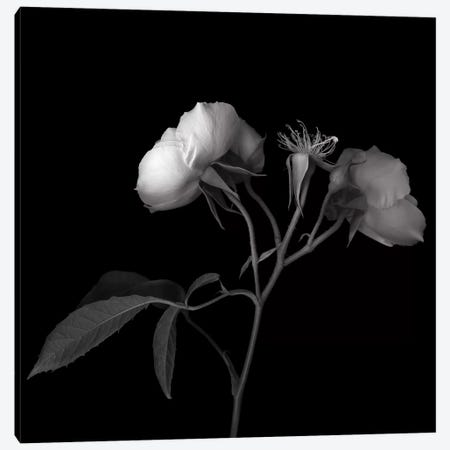 Rose White VII, B&W Canvas Print #MAG168} by Magda Indigo Canvas Art Print