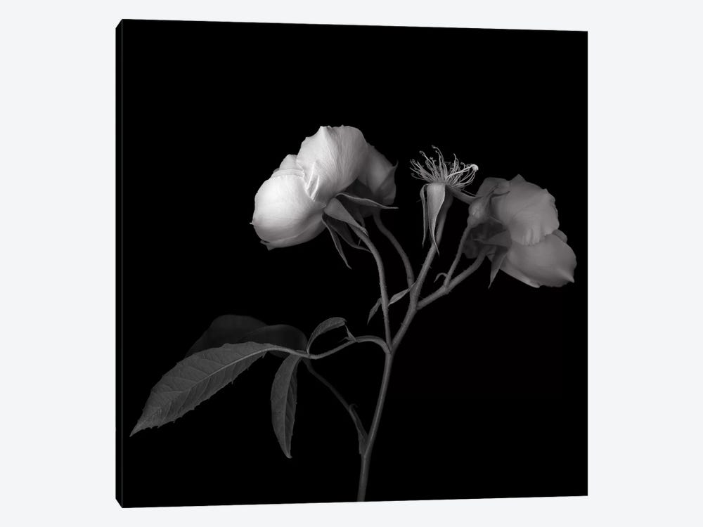 Rose White VII, B&W by Magda Indigo 1-piece Art Print