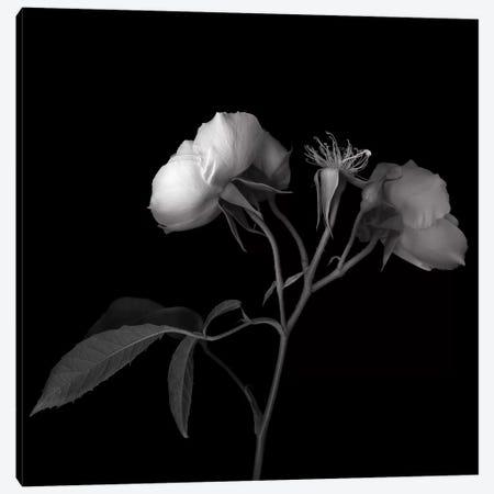 Rose White VII, B&W Canvas Print #MAG168} by Magda Indigo Canvas Art Print