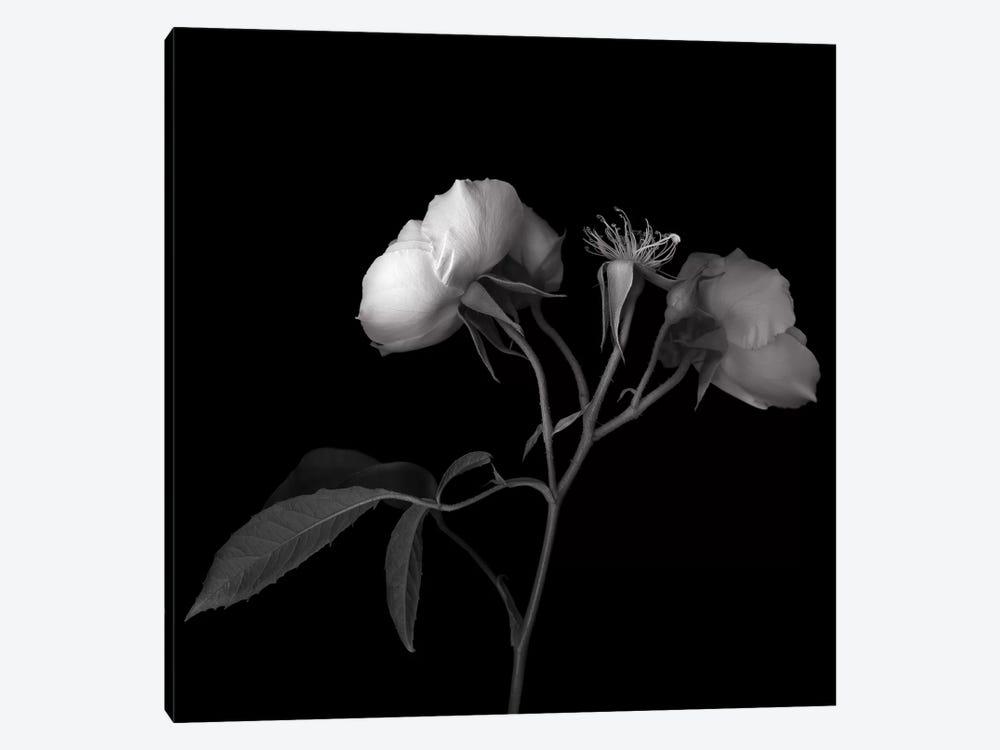 Rose White VII, B&W by Magda Indigo 1-piece Art Print