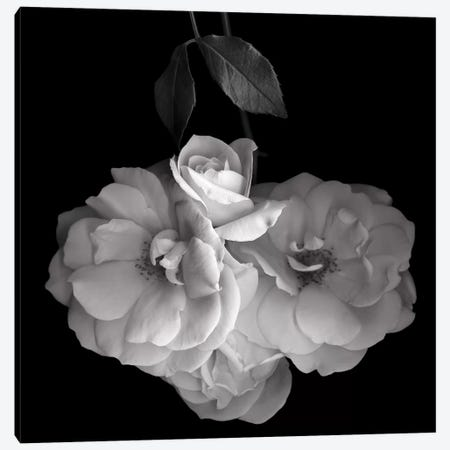 Rose White XVI, B&W 3-Piece Canvas #MAG169} by Magda Indigo Art Print