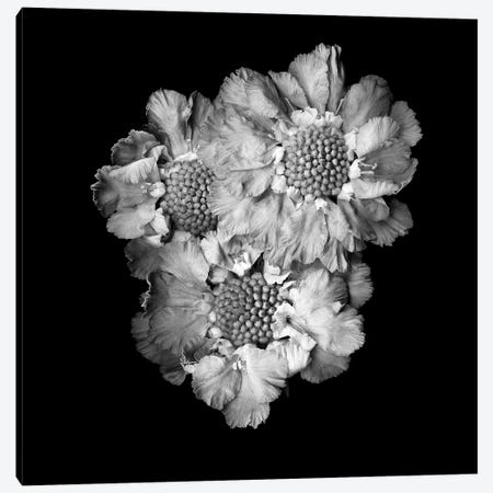 Scabiose II, B&W Canvas Print #MAG171} by Magda Indigo Canvas Art