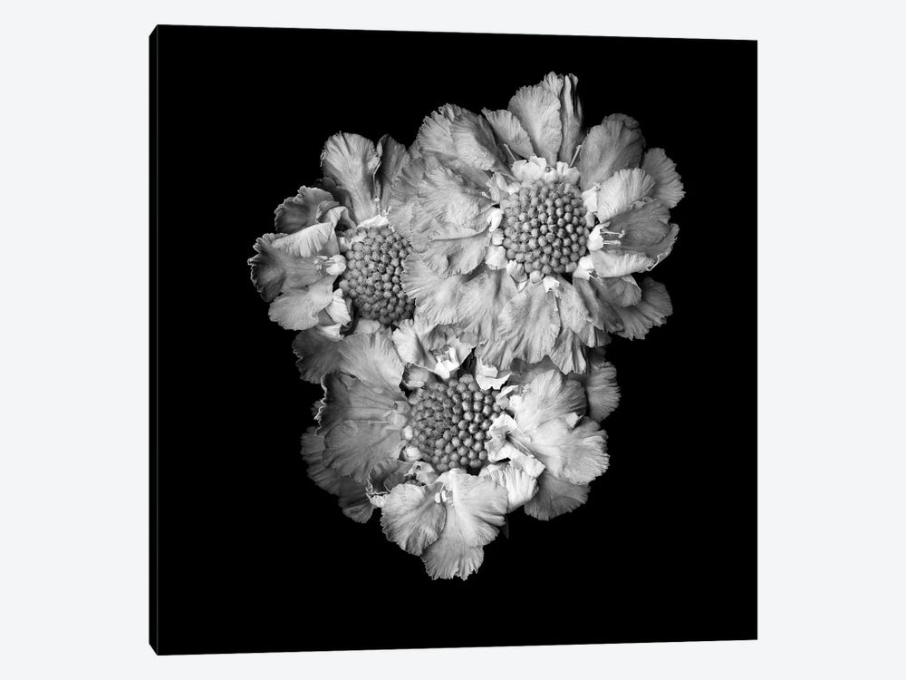Scabiose II, B&W by Magda Indigo 1-piece Canvas Art Print