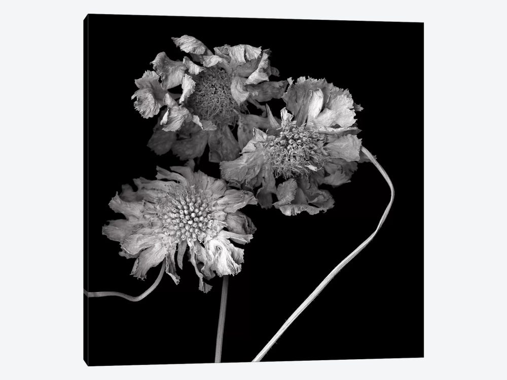 Scabiose XI, B&W by Magda Indigo 1-piece Canvas Artwork