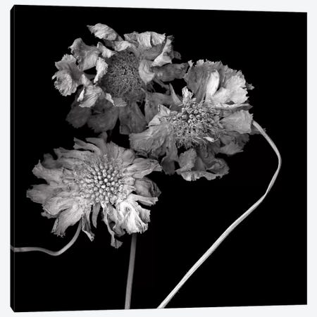Scabiose XI, B&W 3-Piece Canvas #MAG172} by Magda Indigo Canvas Artwork