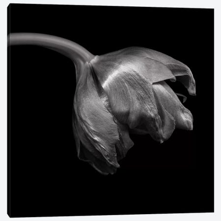 Tulip Red VIII, B&W Canvas Print #MAG175} by Magda Indigo Canvas Print