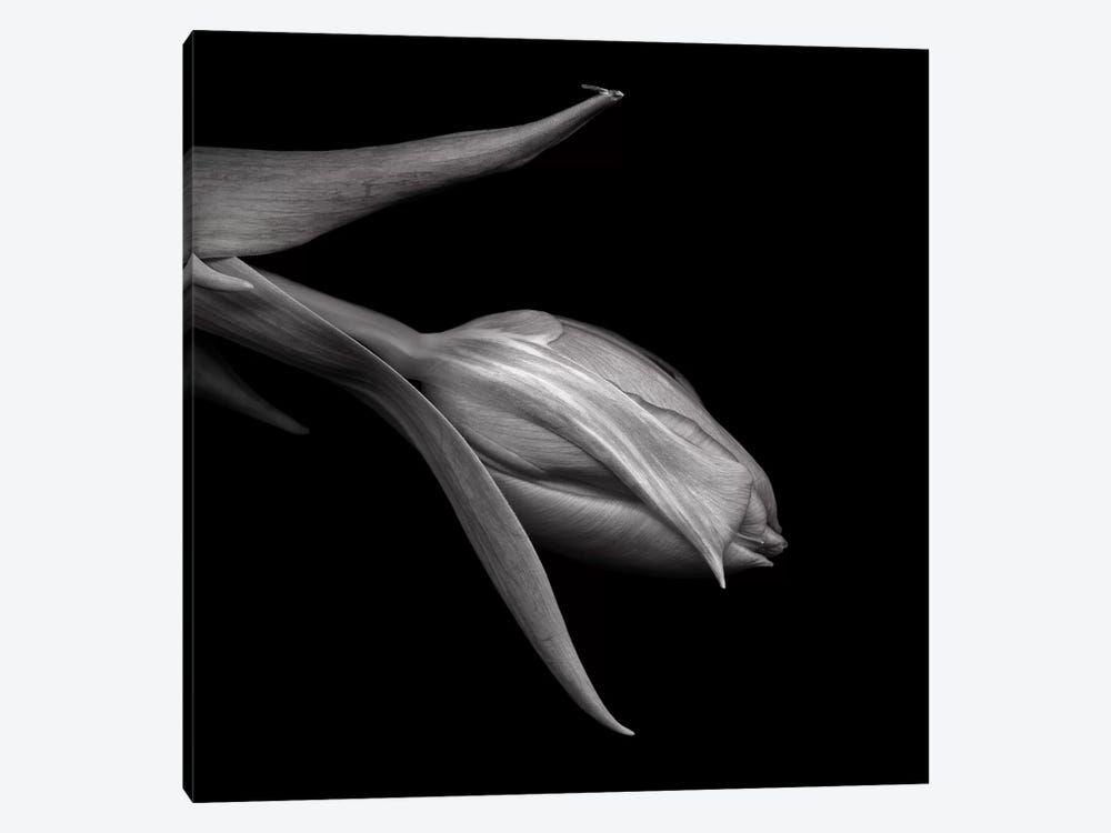 Tulips Red XI, B&W by Magda Indigo 1-piece Canvas Artwork