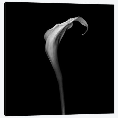 White Calla, B&W Canvas Print #MAG181} by Magda Indigo Canvas Print